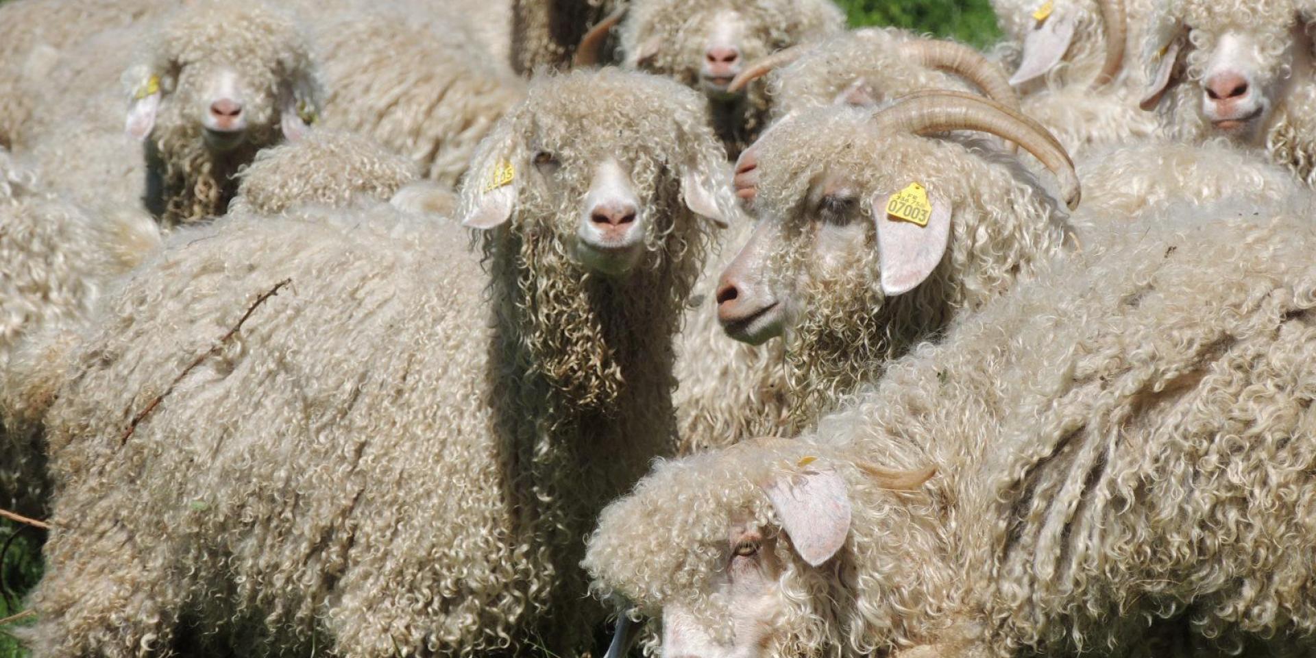 Troupeau de chèvres Angora en liberté dans la ferme d'Amalthée en Beaujolais