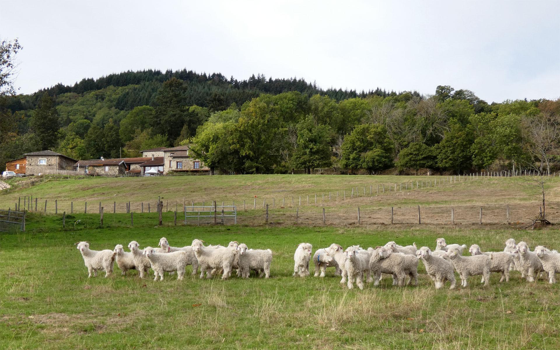 Notre élevage extensif de chèvres angora dans le Beaujolais