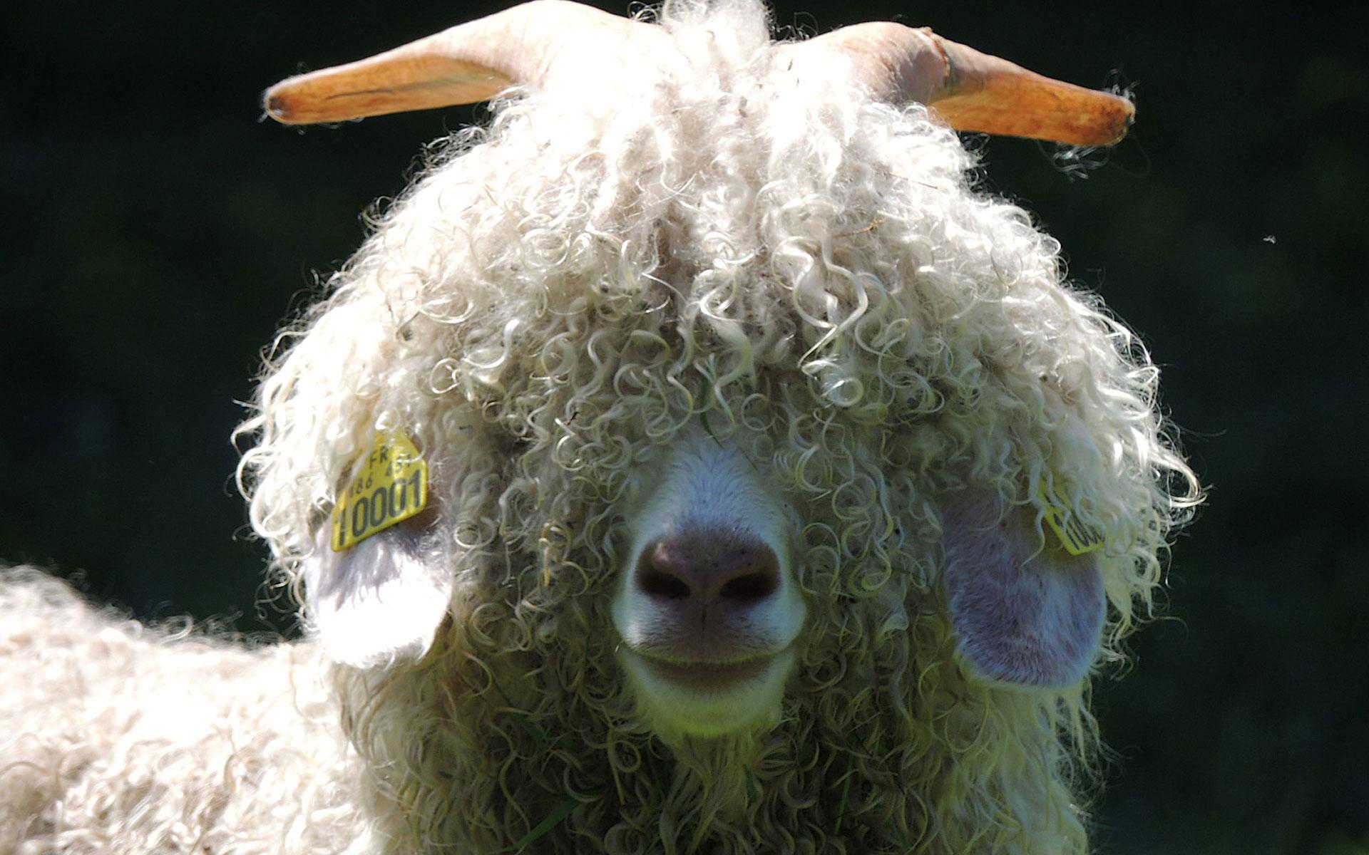 Mohair de nos chèvres angora
