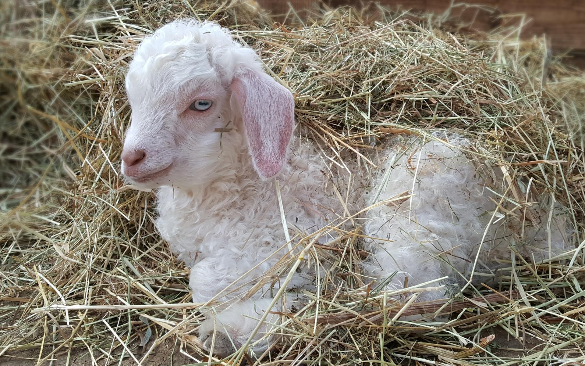 Cabri, bébé chèvre angora au chaud sous la paille